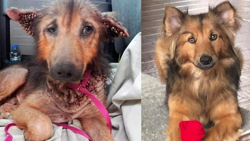 La nueva vida de un perro rescatado a punto de morir: ahora luce así de feliz con su nueva familia