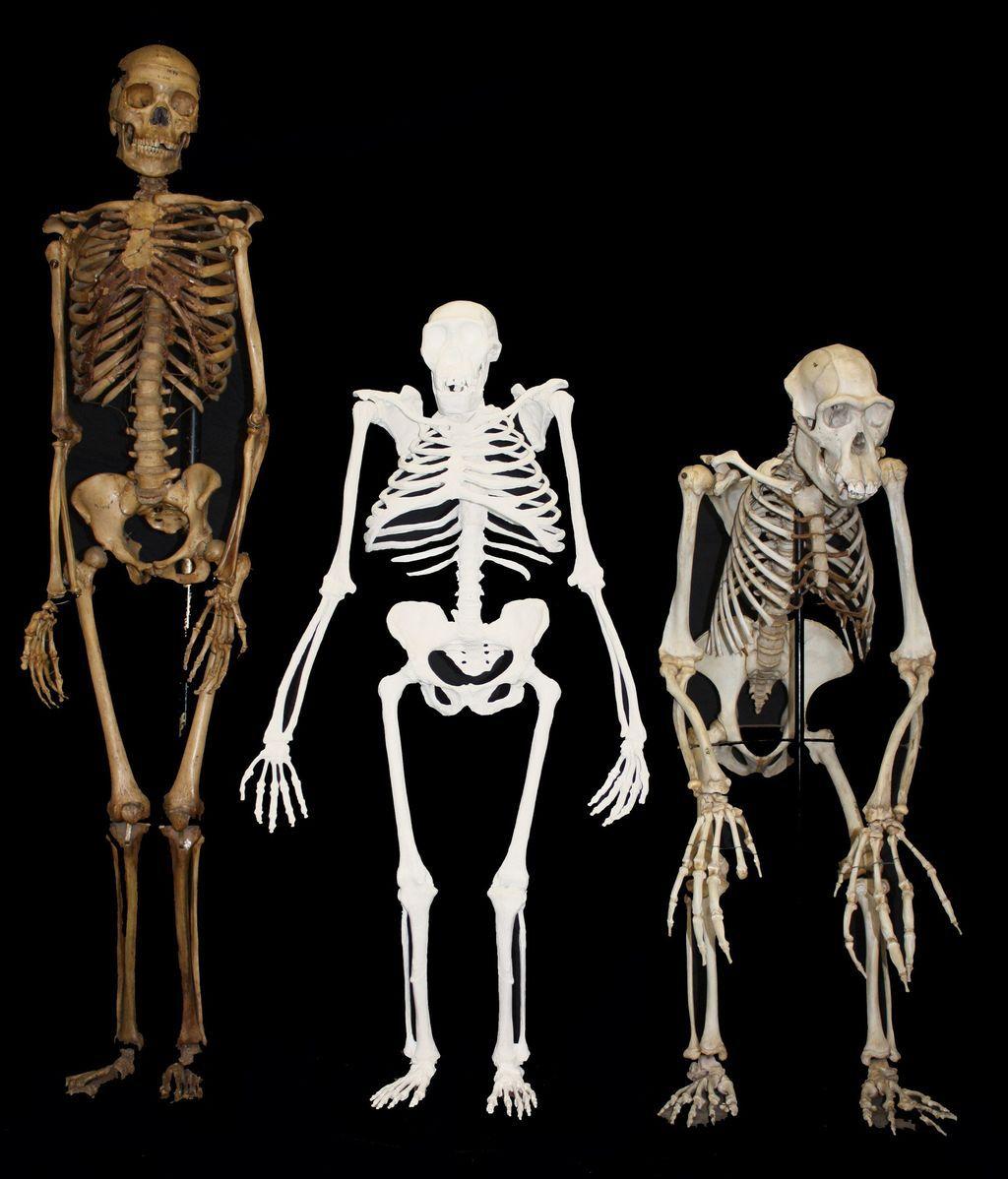 Una mujer moderna, un Australopithecus sediba y un chimpancé macho.