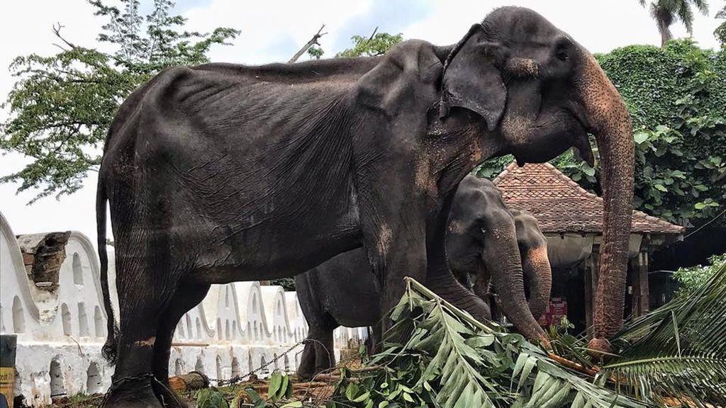 Tikiri, el elefante cuya apariencia esquelética provocó indignación internacional ha muerto