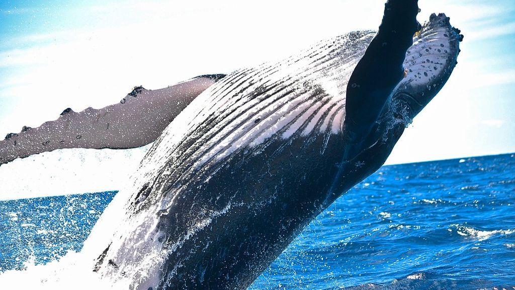 """Las ballenas y delfines se hicieron acuáticos gracias a genes """"perdidos"""""""