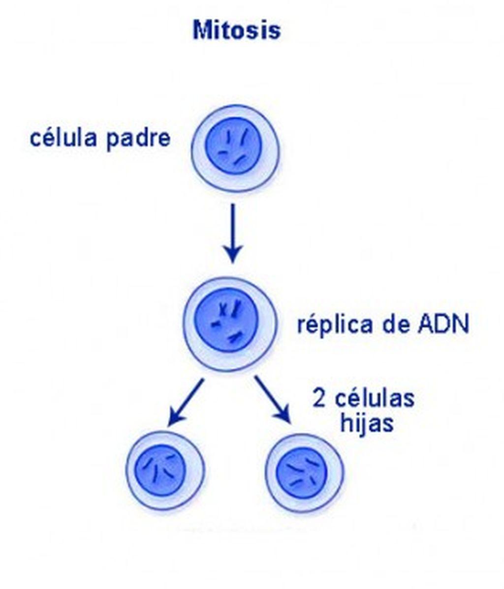 Ciclo de vida de una célula durante la mitosis
