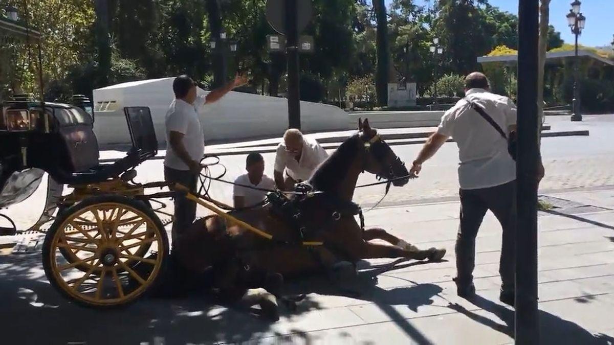Un caballo se desploma en Sevilla y estalla la tensión entre cocheros y animalistas