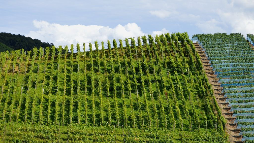 vineyards-1609599_1920