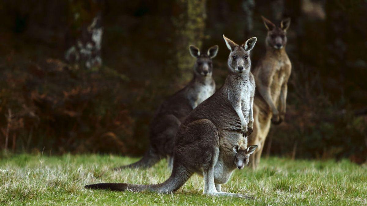 Canguros australianos