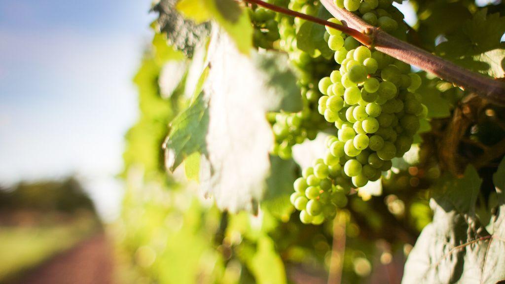 El cambio climático aumenta el alcohol del vino: una copa te emborracha más que hace 30 años