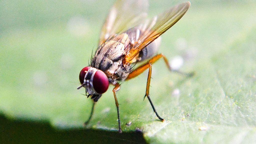 No te la comas: la mosca que hace vomitar a su depredador