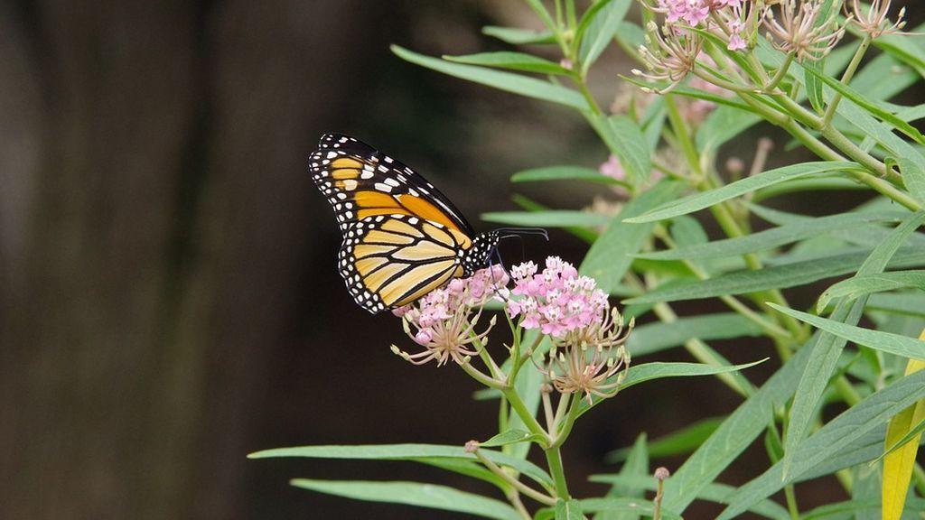 monarch-4060058_960_720