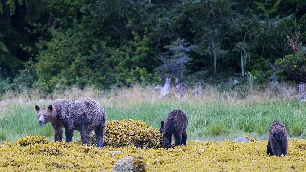 Imágenes de los osos de la British Columbia Coast (Canadá)