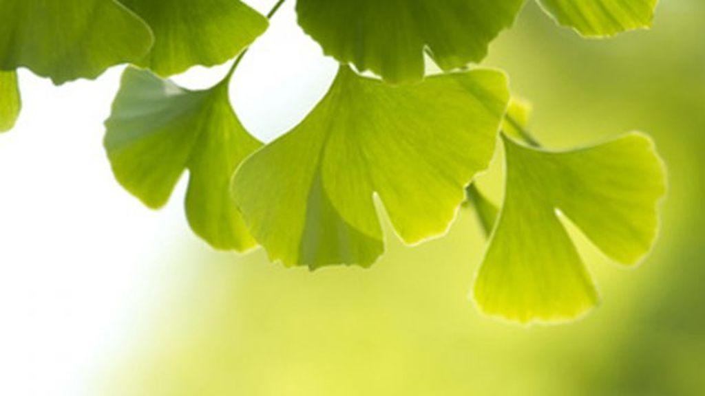 Ginkgo, la medicina natural para la memoria