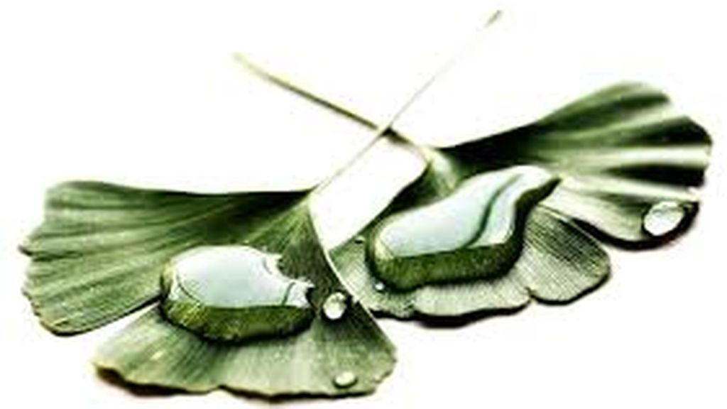 hojas ginkgo