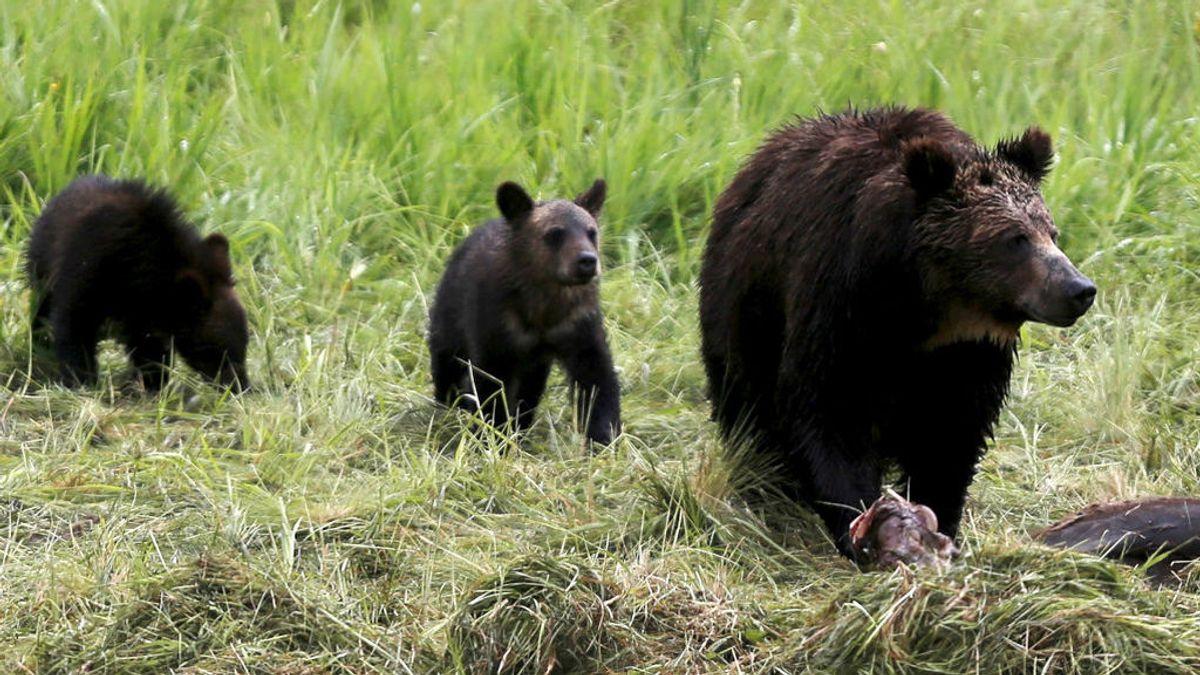 El cambio climático, responsable de las impactantes imágenes de los osos Grizzly demacrados