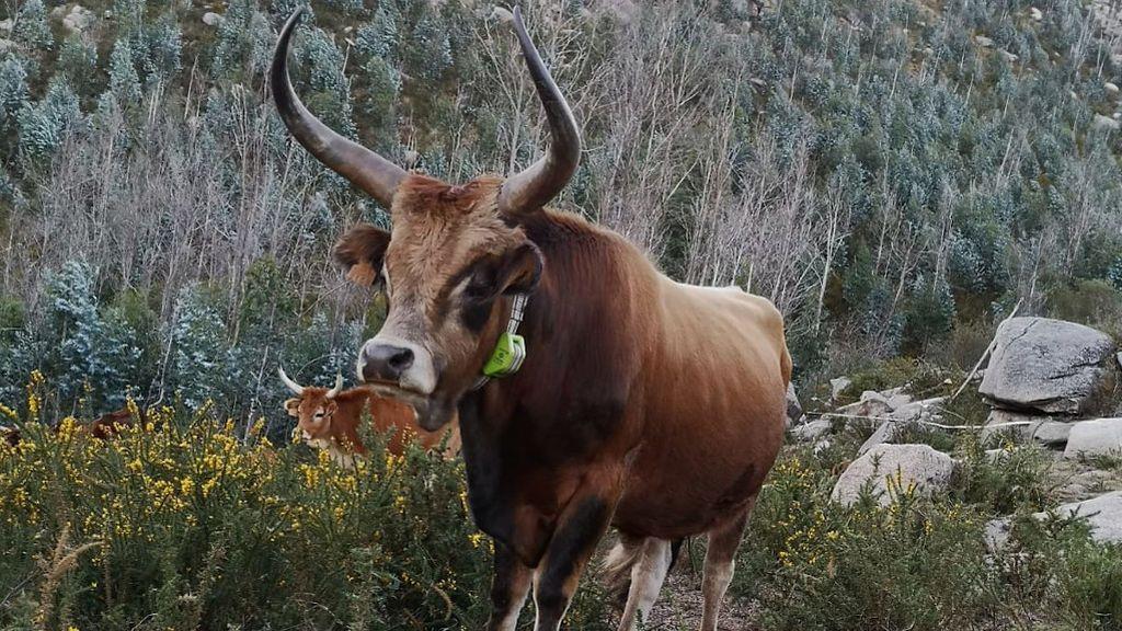 Las vacas de este ganadero gallego pastan en unas 800 hectáreas de monte