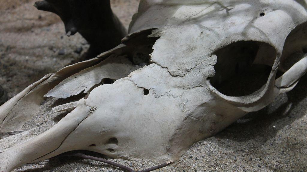 La misteriosa mutilación de toros que mantiene en vilo a Oregón, EEUU
