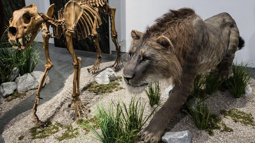 """Descubren cachorros de león de las cavernas y contemplan recrear la especie: """"sería mucho más fácil que clonar un mamut lanudo"""""""