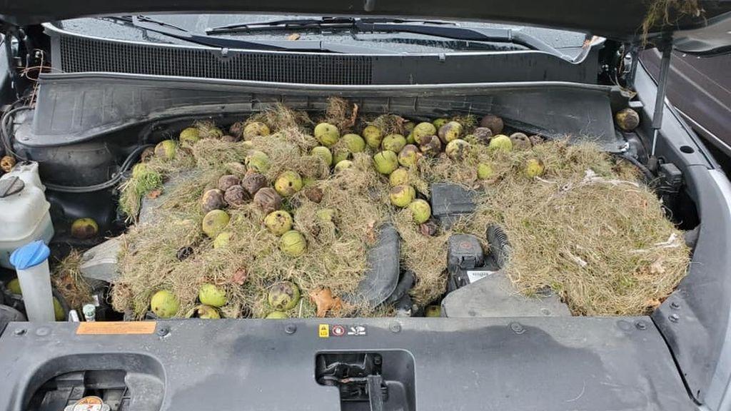 El sorprendente descubrimiento de un hombre en el capó de su coche: las ardillas guardaban más de 200 nueces