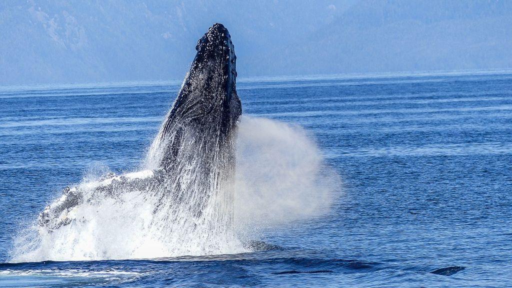 Un vídeo capta cómo las ballenas se alimentan mediante burbujas