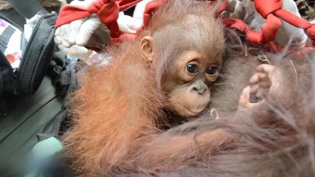 Rescatan a una mamá orangután y a su cría que estaban atrapadas por la deforestación