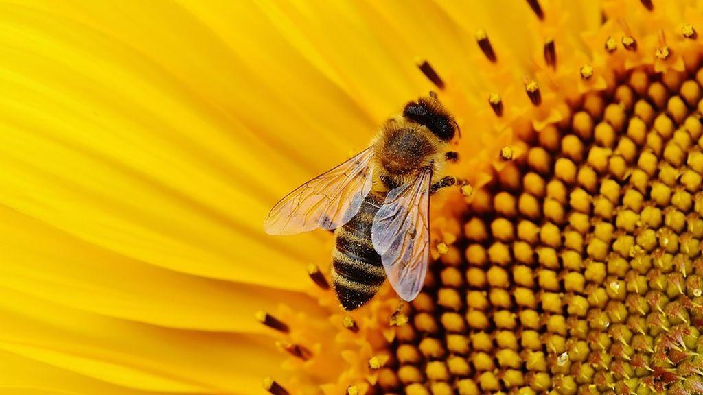 Las abejas han sido declaradas el ser vivo más importante de la Tierra