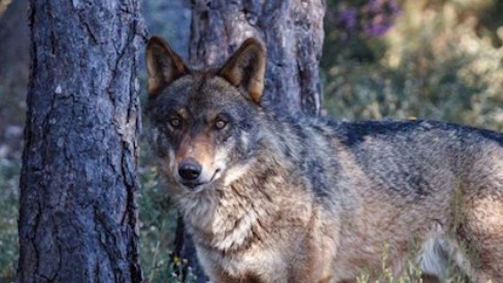 Una sentencia europea abre la puerta a la caza del lobo al sur del Duero de forma limitada