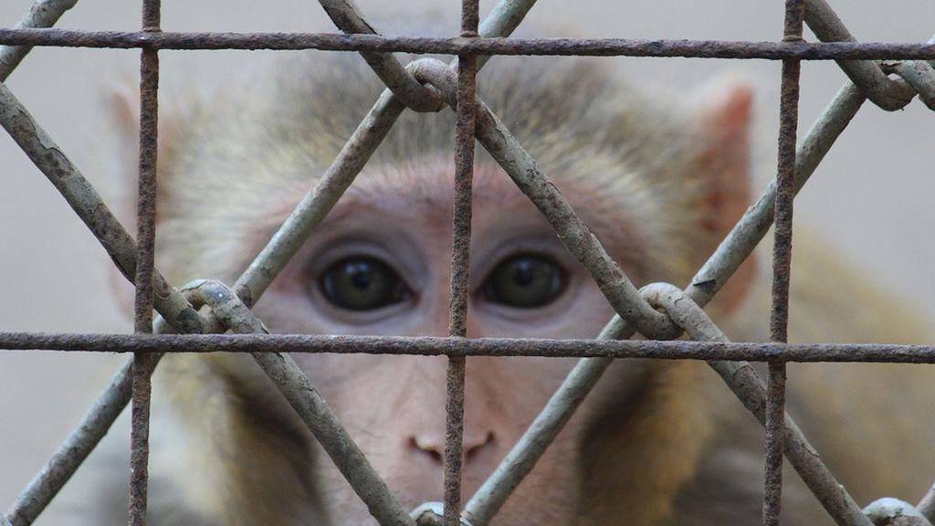 Laboratorio del terror: un vídeo muestra el salvaje maltrato a monos en un centro de pruebas en animales de Alemania