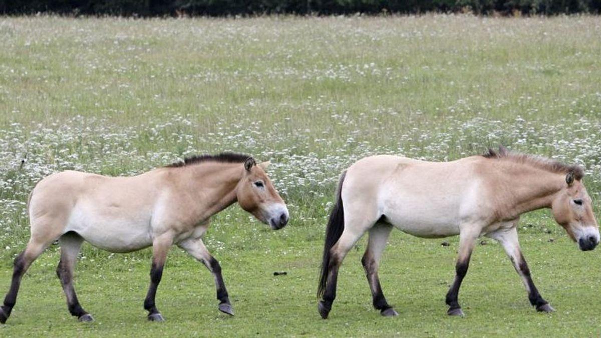 Chernobyl se convierte en refugio de una raza de caballos en extinción