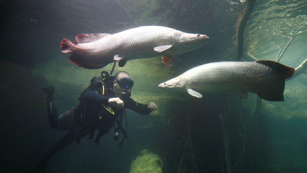 Un pez que vive rodeado de pirañas en el Amazonas inspira los nuevos chalecos antibalas
