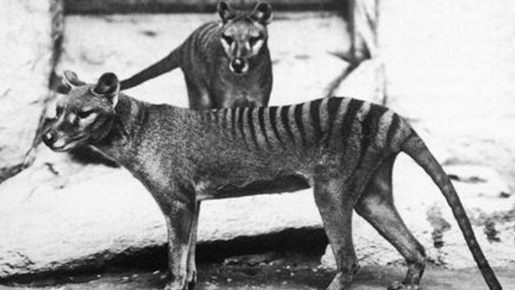 ¿Sigue vivo el tigre de Tasmania? Nuevos avistamientos ponen en duda su extinción hace 80 años