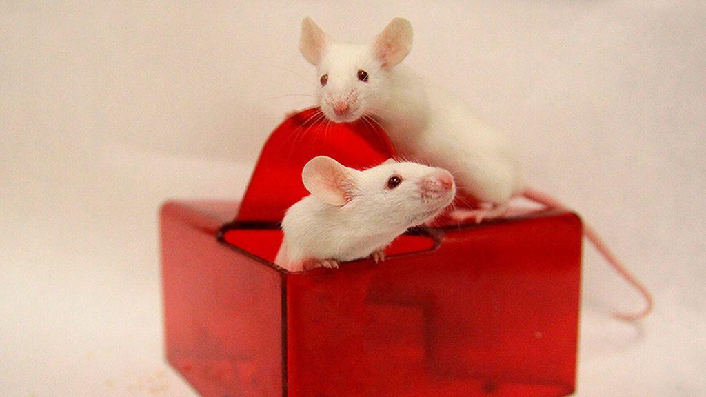 Científicos españoles consiguen ratones más longevos y sanos sin alterar sus genes
