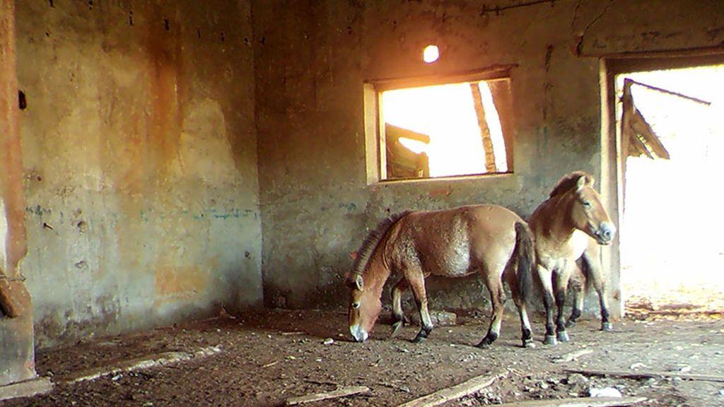 Paradojas de Chernóbil: la zona cero ha permitido salvar una especie de caballo en peligro de extinción