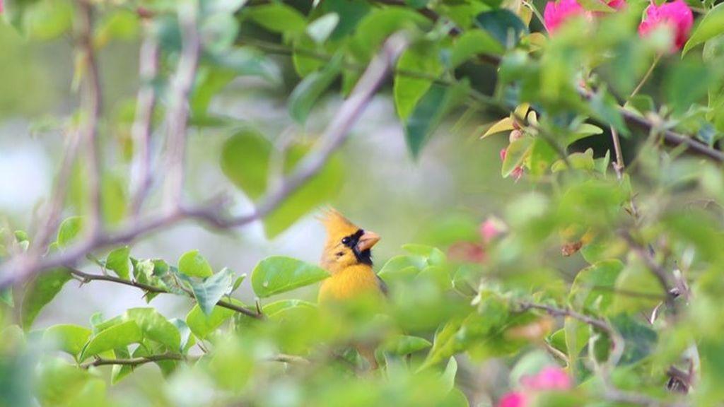 """Avistan un espectacular cardenal amarillo en Florida, la posibilidad de ver esta especie es de """"una en un millón"""""""