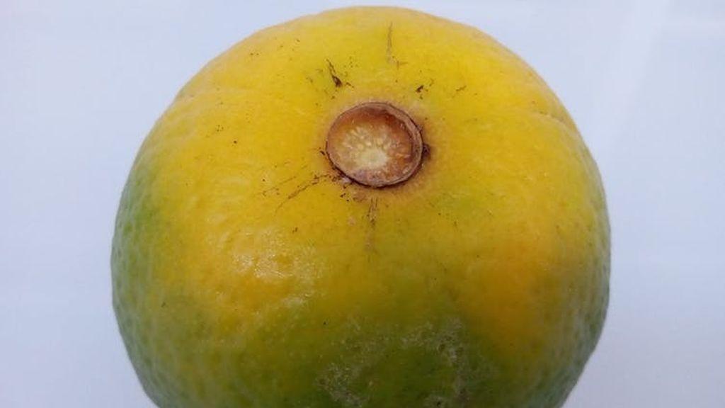Naranja afectada por el HLB.