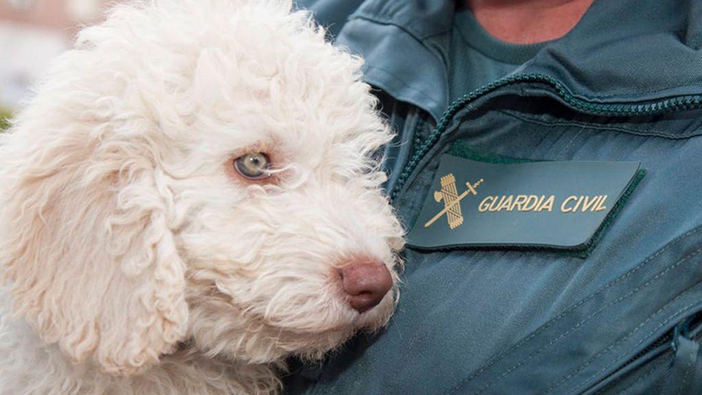Dylan: el nuevo cachorro de la Guardia Civil que sustituirá a Marley en la búsqueda de desaparecidos