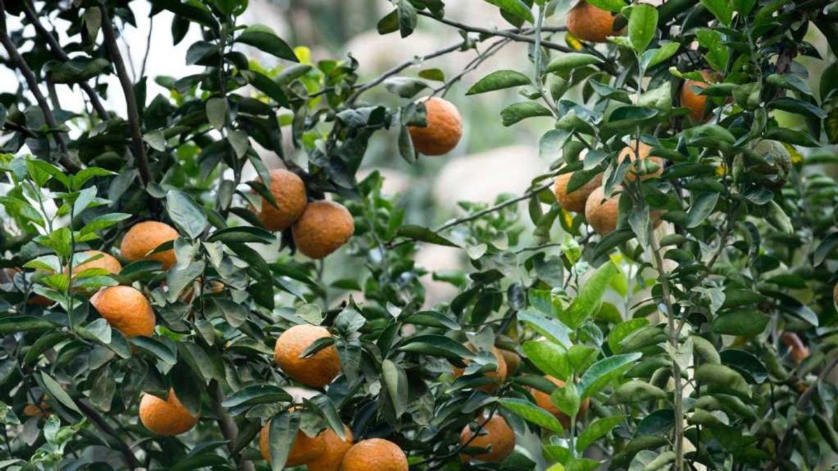 Así luchamos contra la bacteria que nos quiere dejar sin naranjas