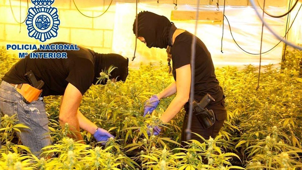La Policía desmantela 300 plantaciones de marihuana en ocho meses