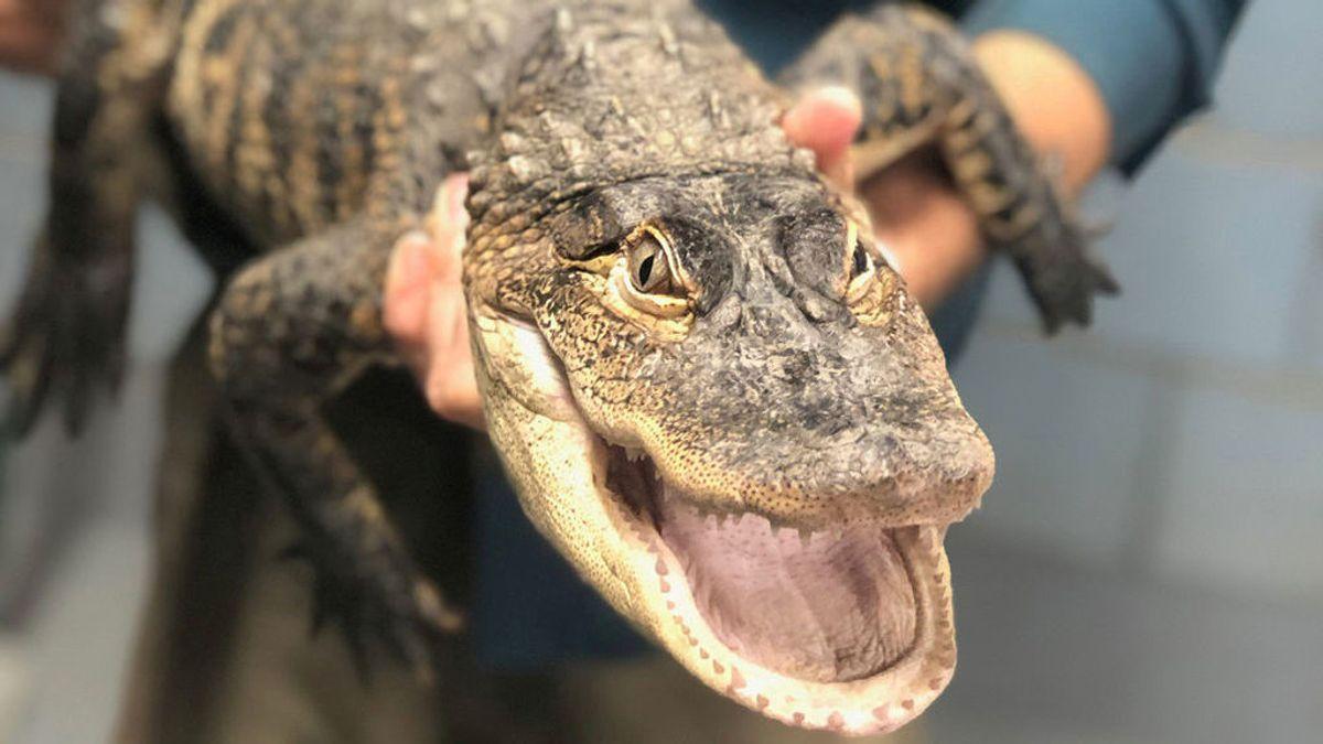 Un hombre saca un cocodrilo de dos metros de una piscina con sus propias manos
