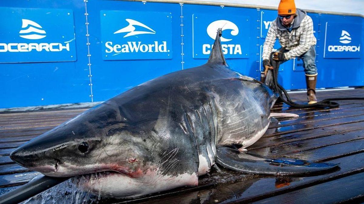 El tiburón blanco no es invencible: un ejemplar aparece con mordeduras de un animal aún más grande
