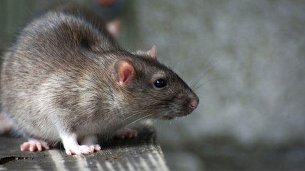 Las ratas dominan el arte de conducir automóviles