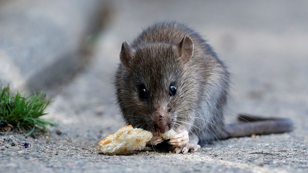 Las ratas son más listas de lo que piensas: así conducen un 'minicoche' a cambio de comida
