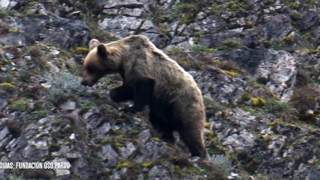 Los osos, el gran valor de la sierra del Caurel: su presencia puede dar un impulso a la economía de la zona