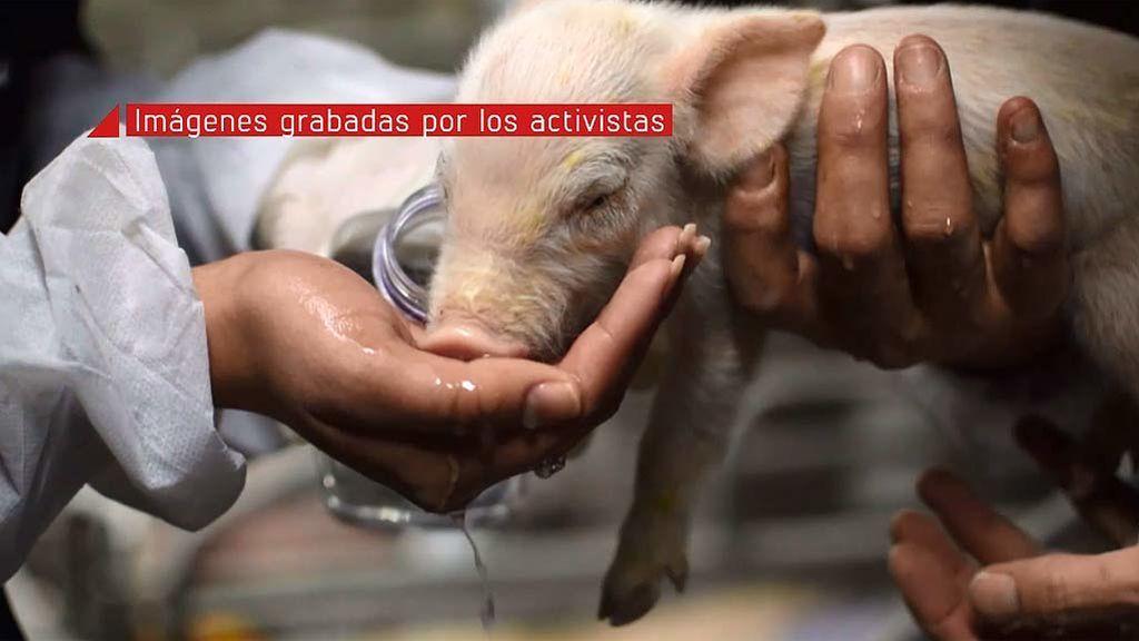 Estas imágenes pueden herir tu sensibilidad: Activistas veganos asaltan una granja de cerdos