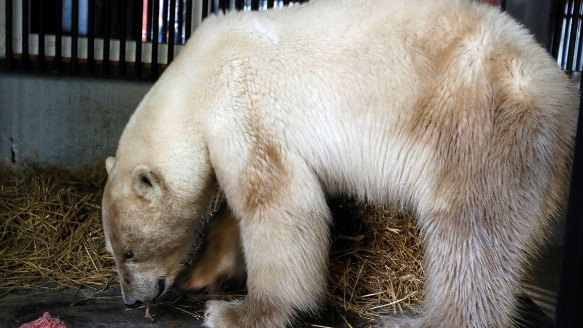 La tierna recuperación de un oso polar que buscaba comida entre la basura en Rusia