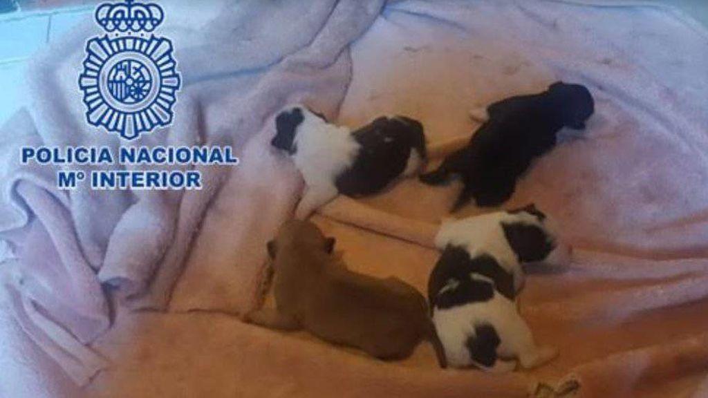 Detenida en Gijón tras intentar matar a cuatro cachorros metiéndolos en el congelador