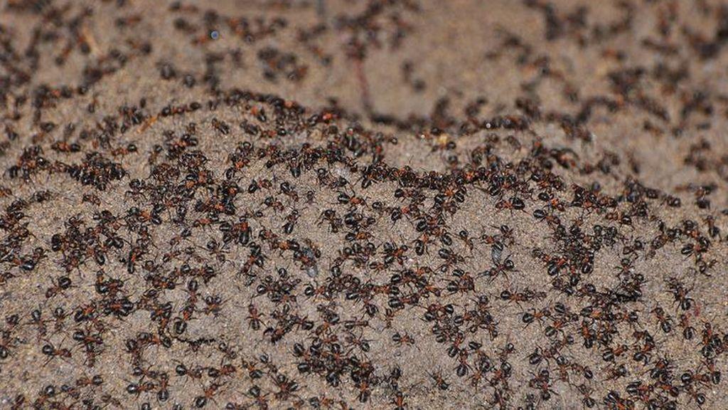 Casi un millón de hormigas atrapadas en un búnker nuclear sobreviven por canibalismo