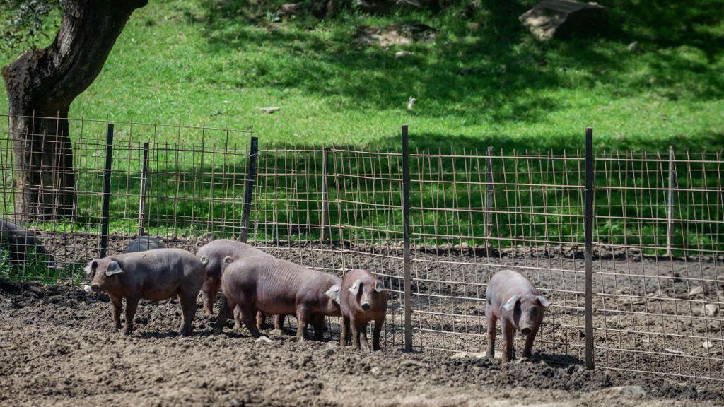 'Del cerdo, hasta los andares'… y ahora también el pelo: se investiga su uso para descontaminar agua