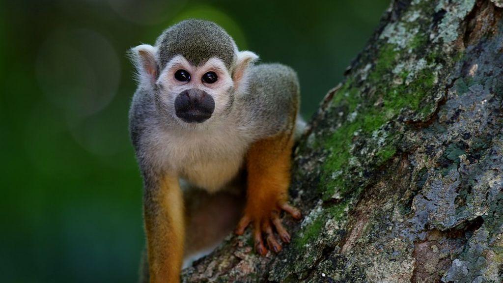 Un mono mata con una piedra a un bebé de 4 meses en la India