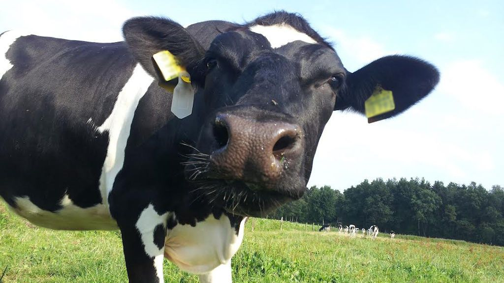 ¿Sabe que puede alquilar una vaca por poco más de lo que cuesta un café?