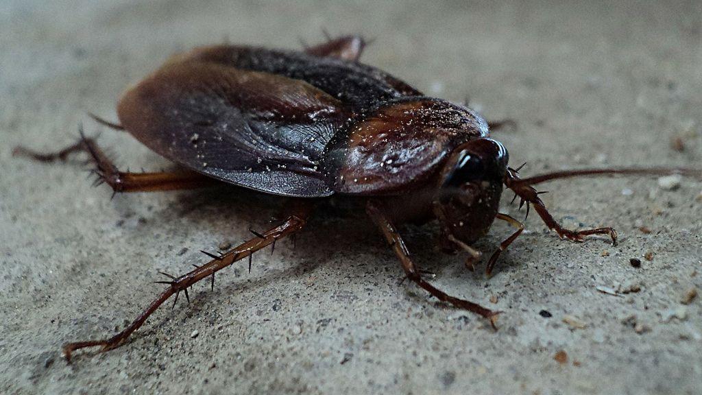 Un hombre tenía más de 11 cucarachas viviendo dentro de su oído
