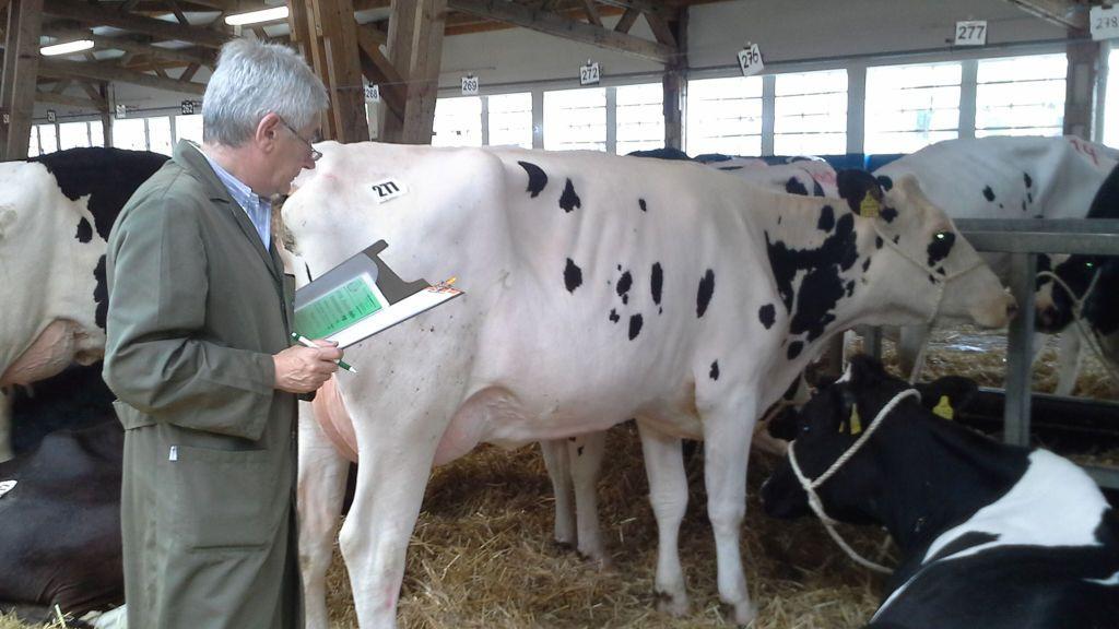 Joaquín Diego, el dueño de la empresa que selecciona a las vacas, analizando a un animal