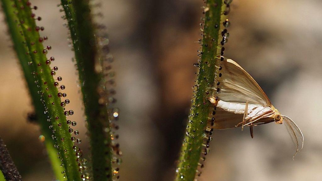 Insecto atrapado por la drosophyllum lusitanicum