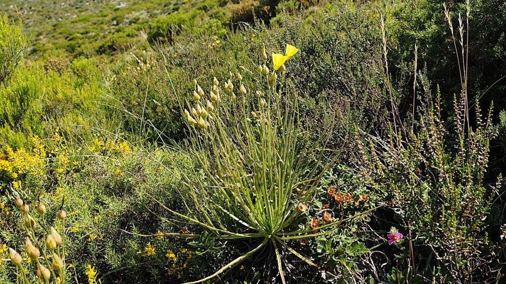 Un ejemplar de drosophyllum lusitanicum